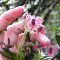 Hoa lan hình mặt quỷ quý hiếm ở Colombia