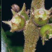 Phát hiện thêm 4 loài Xú hương mới thuộc họ Cà phê ở Đông Dương