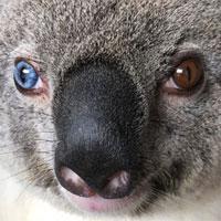 Video: Koala có hai màu mắt hiếm gặp