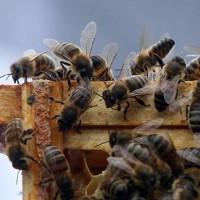 Phát hiện khó tin: Loài ong có ngôn ngữ địa phương