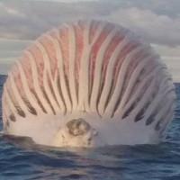Xác cá voi căng phồng như quả bóng khổng lồ trên biển