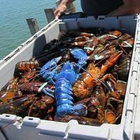 Tôm hùm xanh quý hiếm sa lưới ngư dân Mỹ
