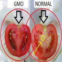 Cách phân biệt cà chua thường và cà chua biến đổi gene
