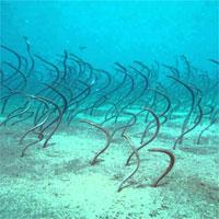 Cá chình uốn lượn như đám tóc dưới đáy biển