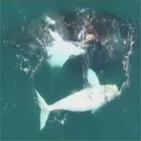 Video: Phát hiện cá voi trắng cực hiếm ngoài khơi Úc