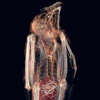 Bí mật bên trong xác ướp chim cắt cổ đại chết nghẹn vì ăn