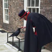 Truyền thuyết về loài quạ đen sống trên tháp London