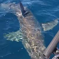 Video: Cá mập dài 4m nổi giận cắn xé động cơ tàu cá