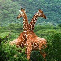 Phát hiện mới: Hươu cao cổ thuộc 4 chủng sinh vật khác nhau