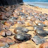 500 con sam chết bất thường trên bờ biển Nhật