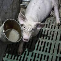 Thịt lợn Trung Quốc là nguyên nhân khiến nhiều người chết vì nhờn thuốc kháng sinh