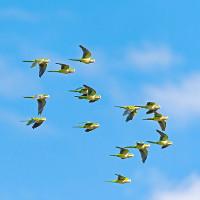 Lý do những con chim không đâm vào nhau khi bay