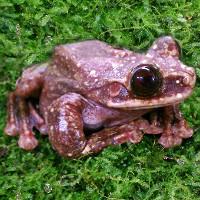 """Chú ếch """"cô đơn"""" nhất trên thế giới đã chết, thêm một giống loài tuyệt chủng"""