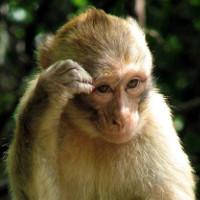 Cấy tế bào gốc của khỉ chữa thành công bệnh tim