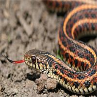 Đây chính là lý do vì sao loài rắn không có chân