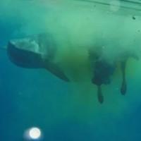 Video: Cá mập hổ dài 5m xé xác bò giữa biển