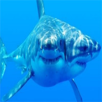 Các nhà khoa học đang nuôi dưỡng, nghiên cứu cá mập 2 đầu