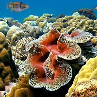 Tận mục loài sò khổng lồ nặng 3 tạ của Việt Nam