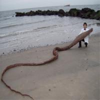 """Phát hiện xác """"quái vật biển"""" ở Nhật Bản"""