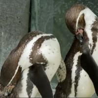 Cặp chim cánh cụt đồng tính kỷ niệm 10 năm chung sống