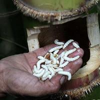 Sợ hãi sinh vật lạ trong ống tre được dân địa phương coi như của quý