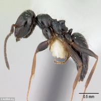 """Phát hiện bầy đàn """"siêu kiến"""", tổ trải dài tới 38km"""