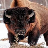 Mẩu đuôi có thể giúp hồi sinh bò rừng tuyệt chủng 12.000 năm
