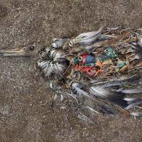Sự thật kinh hãi đằng sau những cái chết của chim biển