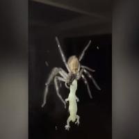 Video: Nhện to bằng chiếc đĩa tha xác thằn lằn ngoài cửa sổ nhà dân