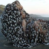 """""""Quái vật Muriwai"""" phủ đầy hà dạt vào bờ biển New Zealand"""