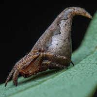 Loài nhện mới giống mũ phép thuật của Harry Potter