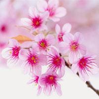 Những loại hoa thường cắm trong gia đình xứ Bắc ngày Tết