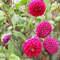 Hướng dẫn cách trồng hoa thược dược nở đúng Tết