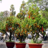 Khám phá thú vị về cây quất cảnh ngày Tết