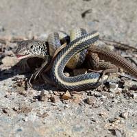 Thằn lằn khổng lồ chắn ngang đường kịch chiến với rắn