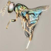 Kinh hoàng loài ong ký sinh kiểm soát và gặm nhấm cơ thể vật chủ