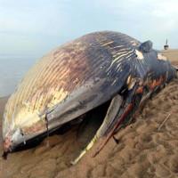 Tại sao xác cá voi lại phát nổ?