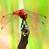 Tác dụng kháng khuẩn kỳ lạ của cánh chuồn chuồn