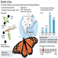 Những điều chưa biết về loài bướm chúa Bắc Mỹ
