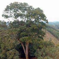 Cây Lim xanh nghìn năm tuổi ở Yên Thế được công nhận là Cây di sản Việt Nam