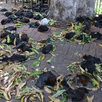 Xác dơi chết khát vì nắng nóng chồng chất ở Australia