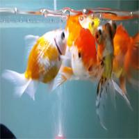 """Sự thật về """"não cá vàng"""" và lời giải cho trí nhớ"""