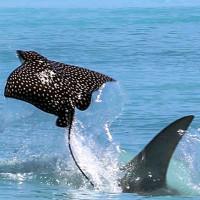 Cá đuối nhanh trí lao lên bãi biển để thoát hàm cá mập