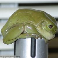 Tìm thấy con ếch xanh khổng lồ to hơn bàn tay người lớn ở Úc