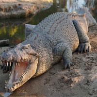 Cá sấu quái vật dài 4,2 mét sập bẫy thợ săn Australia