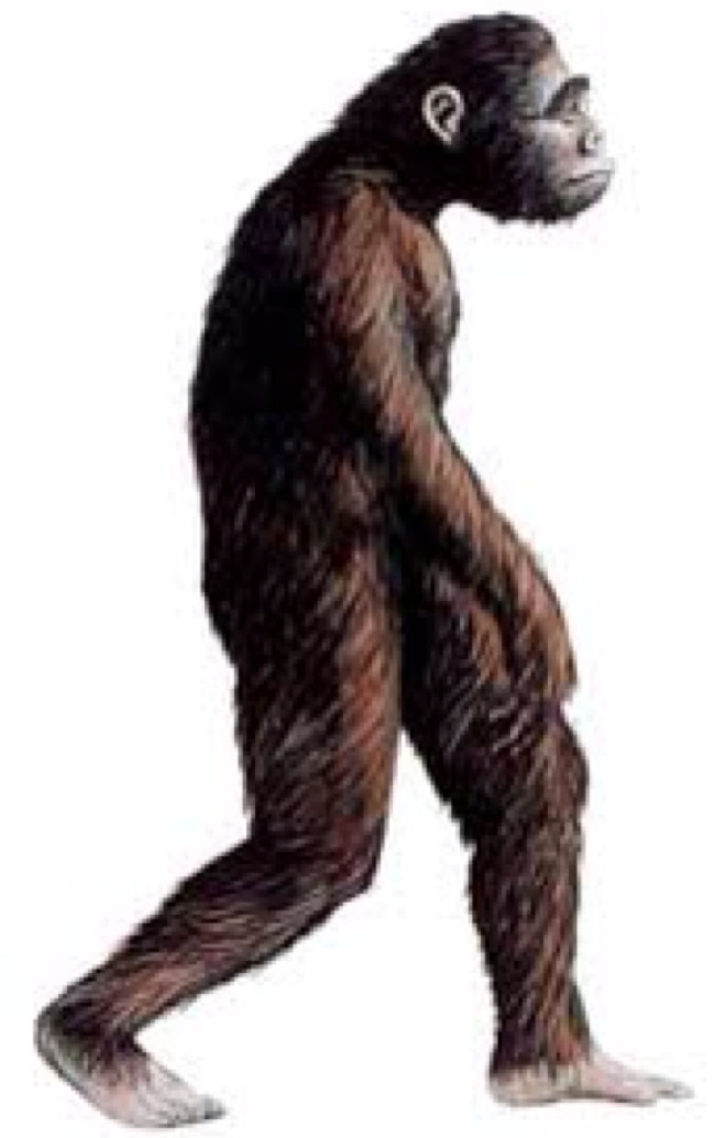 Australopithecus - tổ tiên gần của loài người.
