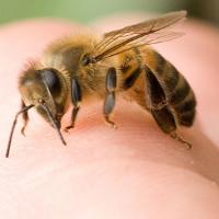 """Ong chích ở đâu là """"thốn"""" nhất? Đáp án sẽ khiến bạn cực kỳ bất ngờ"""