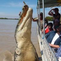 Cá sấu dài 6m phi thân đớp mồi ở Australia