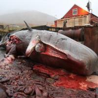 Cách các nhà khoa học bảo quản quả tim cá voi nặng 200 kilogram