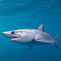 Cá mập giận dữ tấn công ngư dân đòi lại mồi